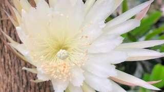 The moonflower Selenicereus wittii in bloom