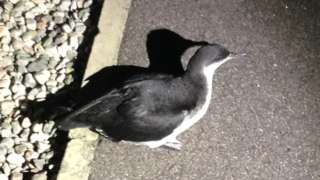 Grounded Manx shearwater