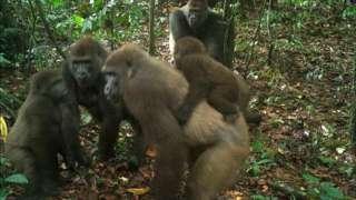 Речные гориллы стараются не попадаться на глаза людям