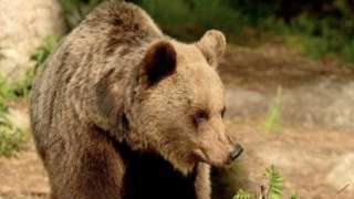 File pic of a bear in the Trentino area of Italy