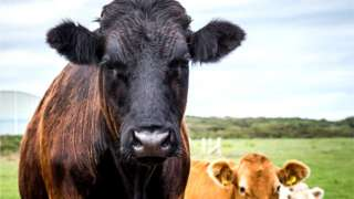 A black cow from Anglesey