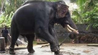संस्कृति और धर्म के नाम पर सैकड़ों हाथियों को प्रताड़ना सहनी पड़ती है