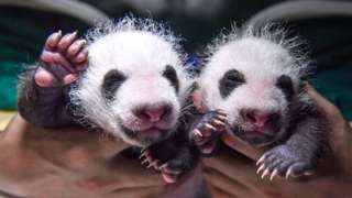 Two giant panda cubs are seen at Wolong National Nature Reserve in Sichuan Province, China, on 17 August 2021