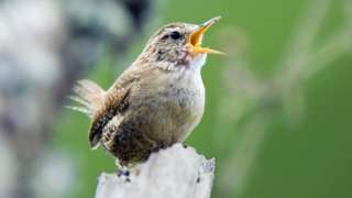 A wren perched and calling in Aberdeenshire, Scotland