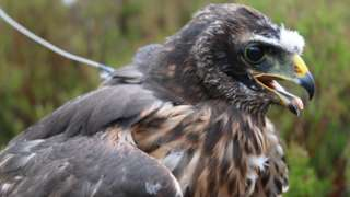 female hen harrier called Calluna