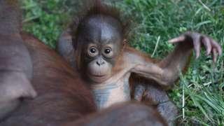 A particularly cute orangutan