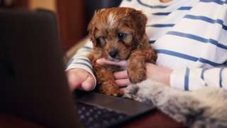 A small puppy is held in its owner's hands in front of a laptop keyboard