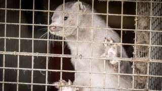Caged mink on a farm in Hjoerring, North Jutland, Denmark, on 8 October 2020