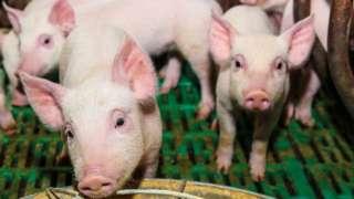 Свині на фермі