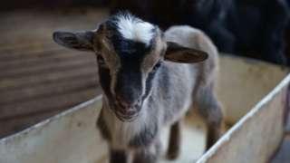 A baby goat at Goatland