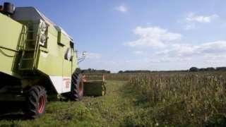 Tractor destroying hemp fields