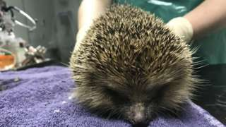 One of the rescued hedgehogs