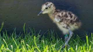 Curlew chick