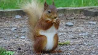 A squirrel eating in Swaledale in the Yorkshire Dales National Park