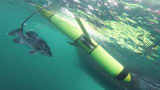Atlantic wreckfish and drone