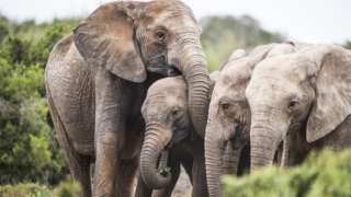 African elephant herd with tuskless matriarch.