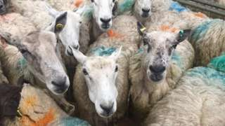 Sheep at a livestock market