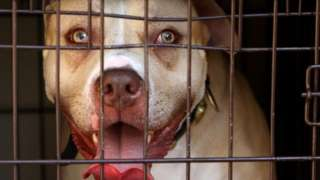 Pit bull terriers na one of di four breeds wey dey banned by di Dangerous Dogs Act for UK