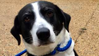Bess the Collie cross at Last Chance Animal Rescue in Kent