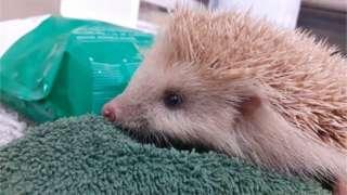 Blonde hedgehog