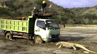 Komodo dragon and truck