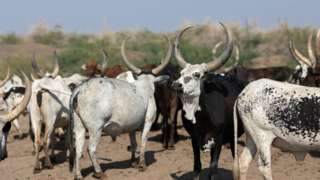 Foto of some cows dem for Ethiopia