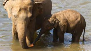 Asian elephant and calf standing in water
