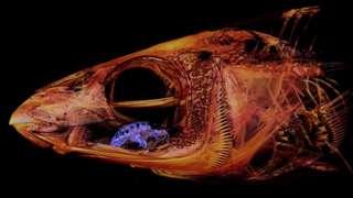 ภาพสแกนภายในกะโหลกของปลาแฮร์ริงเคลที่พบปรสิตเกาะอยู่