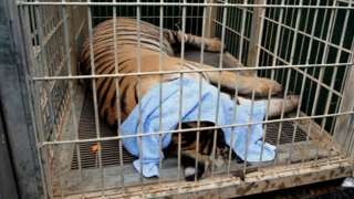 """A sedated tiger is seen in a cage as officials start moving tigers from Thailand""""s controversial Tiger Temple"""