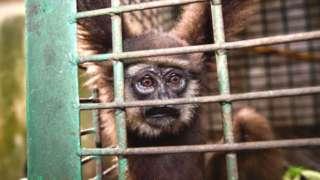 Owa gibbon, Indonesia