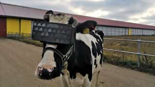 Cow dons VR headset on a Russian farm