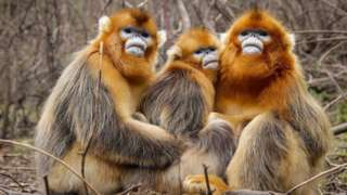 snubnosed monkey