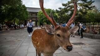 나라 사슴공원에는 1200마리가 넘는 사슴이 서식하고 있다