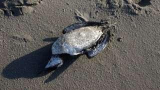 Dead guillemot on Texel