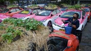 สมาชิกสหกรณ์ราชพฤกษ์แท็กซี่รถน้ำผักที่ปลูกบนหลังคารถแท็กซี่ที่ถูกจอดทิ้งไว้เต็มพื้นที่เช่าจอดรถ หลังเจอวิกฤตโควิด-19 ที่ลุกลามอย่างหนักในระลอก 3 ทำให้ผู้เช่ารถแท็กซี่ไปต่อไม่ไหว