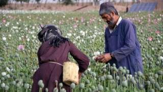 Opium harvest
