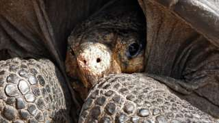 A specimen of the giant Galapagos tortoise Chelonoidis phantasticus, thought to have gone extinct about a century ago, is seen at the Galapagos National Park on Santa Cruz Island in the Galapagos Archipelago, in the Pacific Ocean 1000 km off the coast of Ecuador, on February 19, 2019.