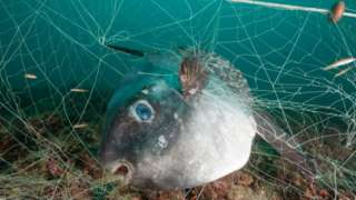 Fish trapped in net
