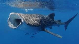 ฉลามวาฬอ้าปากกว้างเพื่อกรองกินแพลงก์ตอน จะสังเกตเห็นดวงตาขนาดเล็กได้ที่ด้านข้างของส่วนหัว
