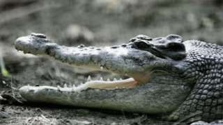 A saltwater crocodile - file image