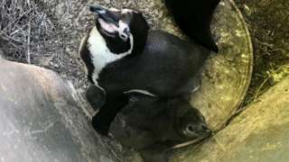 Humboldt penguin and chick