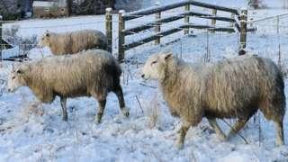 sheep walking through a snowy field