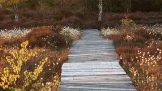 Boardwalk over a peat bog