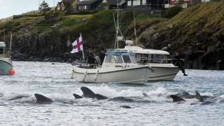 Fishermen on a boat drive pilot whales towards the shore during a hunt on May 29, 2019 in Torshavn, Faroe Islands