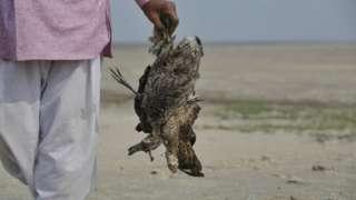 پرندگان راجستان