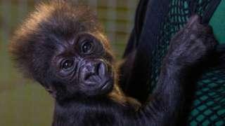 Hasani the gorilla