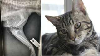 Duchy the cat and an X-ray of the pellet injury