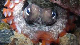 Сиднейский осьминог