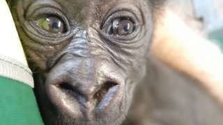 The baby male western lowland gorilla in now two months old.