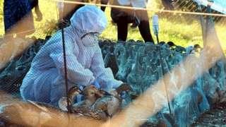 ကြက်ငှက်တုပ်ကွေး၊ အိန္ဒိယ